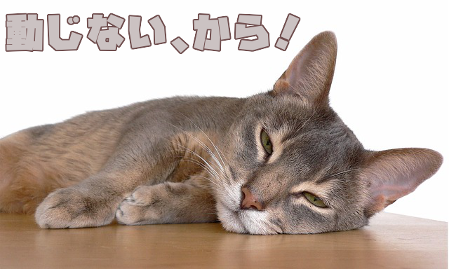 abyssinian-cat-5343045_640